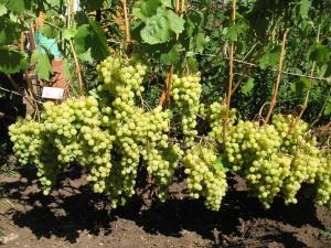 Взрослые кусты винограда