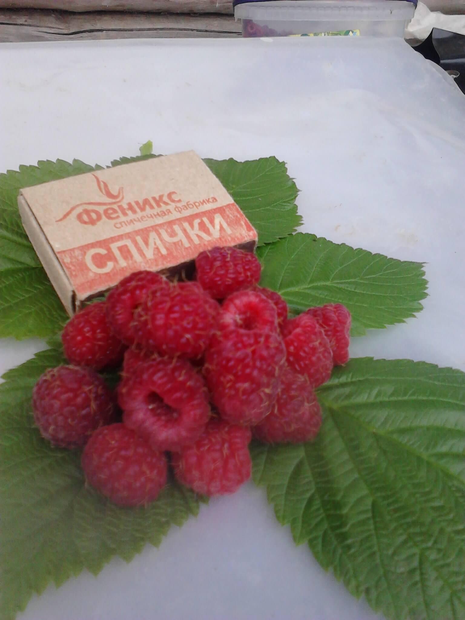 Агротехника малины сорта Скромница и секреты получения высокого урожая