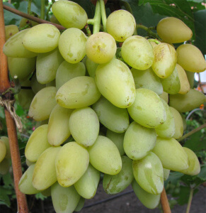 Плодоношение винограда мускат летний