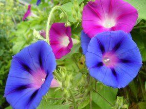 Все о посадке ипомеи: от подготовки семян до высадки рассады в грунт