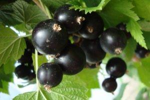 Крупные ягоды черной смородины