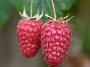 Поспевшая ягода малины