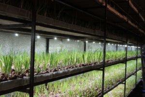 Выращивание лука с освещением
