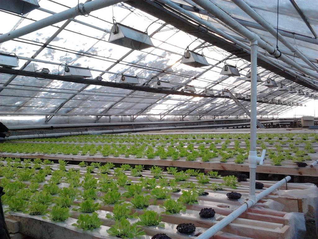Выращивание в теплицах в зимний период 427