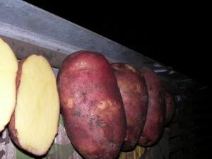 Урожай картофеля скарлет