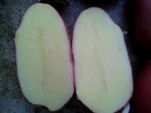 Хороший урожай картофеля благодаря сорту Скарлет: описание и уход