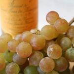 Виноград мускат летний: основные характеристики