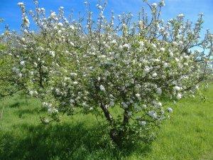 Созревшие ягоды вишни