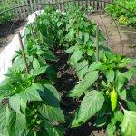 Как вырастить сорт красного сладкого перца «Джульетта»