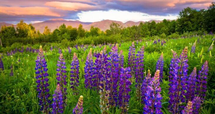 Пышное и яркое цветение люпина