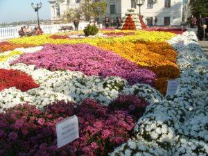Хризантема в ландшафтном дизайне