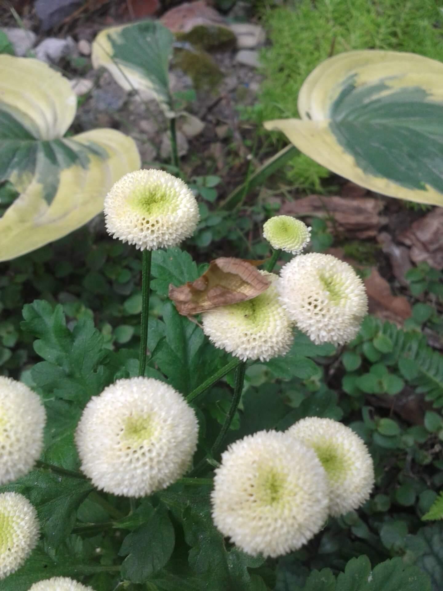 Хризантема девичья: правила посадки и основы ухода