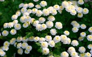 Цветение хризантемы девичьей
