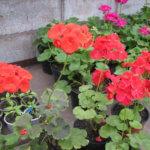 Герань зональная: способы выращивания и размножения, где можно выращивать