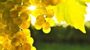 Сладкий сорт винограда