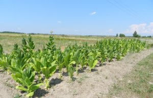 Небольшая плантация табака
