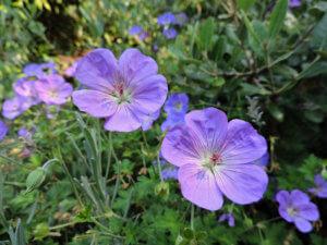 Цветение многолетней герани