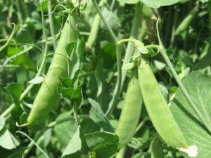Фасоль: выращивание и уход за культурой