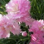 Многолетняя герань: особенности ухода и выращивания