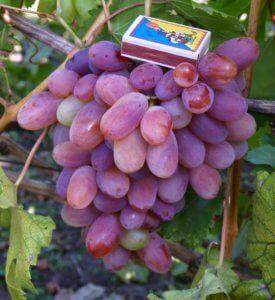 Размер винограда Сенсация