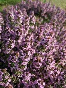 Цветение тимьяна