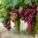 Агротехника винограда: основные характеристики