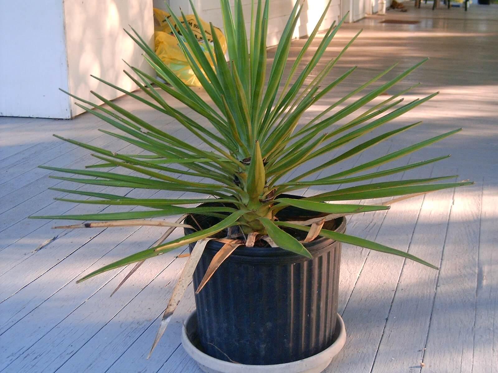 Юкка: садовые и комнатные виды, правила обрезки и размножения черенками