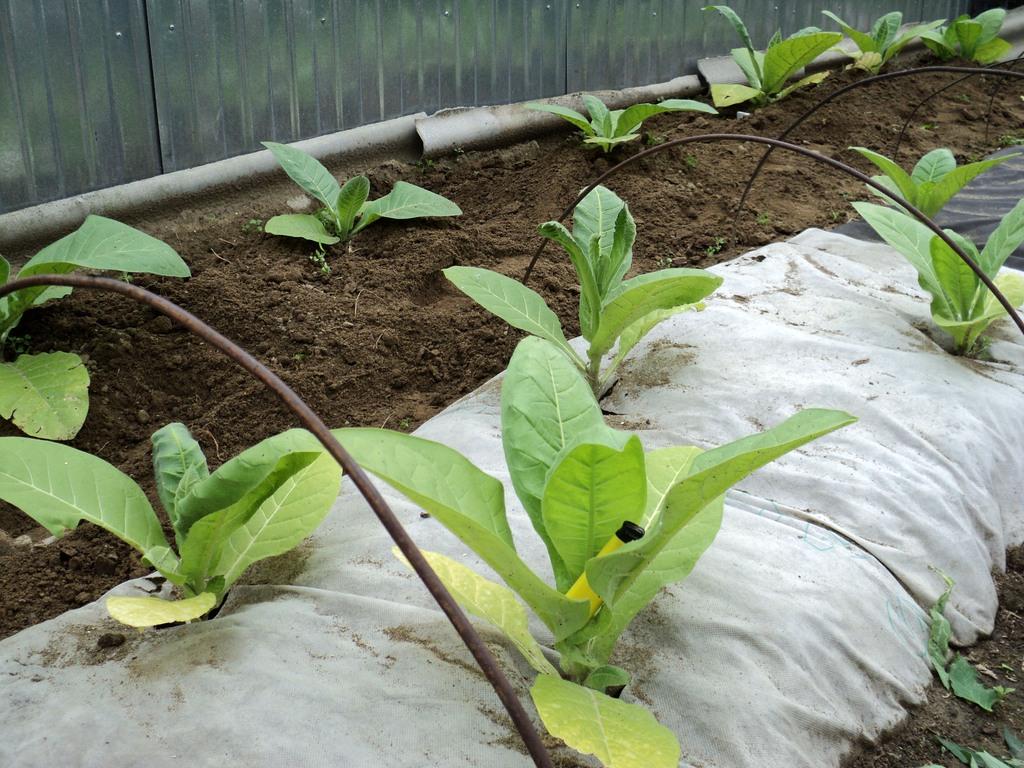 Технология выращивания табака на огороде 22