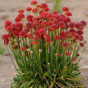Основные секреты выращивания и размножения армерии в саду