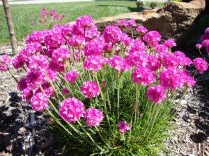 Цветение армерии
