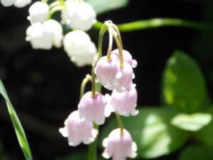 Цветение розового ландыша