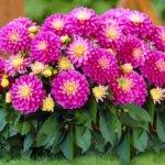 Когда сажать георгины: основные характеристики растения