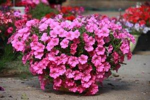 Отличное цветение петуний на даче