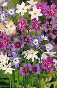 Цветение левкокорины
