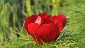 Прекрасный цветок пиона