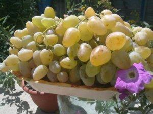 Урожай винограда на дачном участке