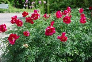 Цветение пиона в саду