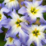 Основные особенности выращивания левкокорины и уход за растением