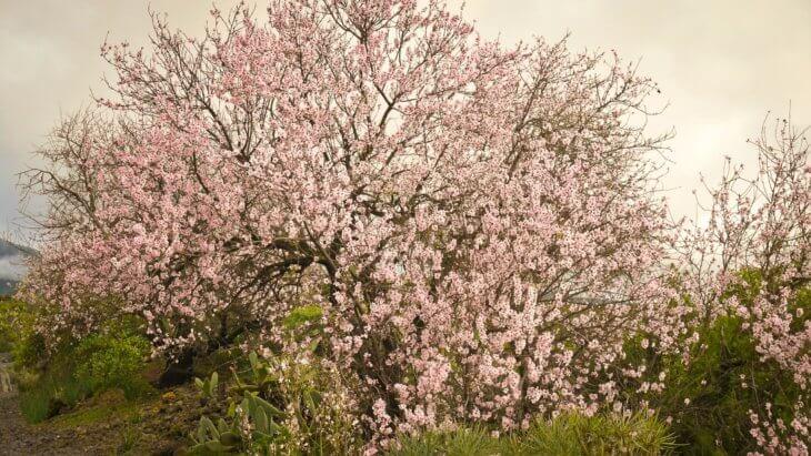 Цветение миндаля в саду