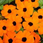Цветы тунбергия: условия хорошего цветения, применение в ландшафтном дизайне