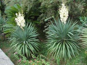 Юкка: основные комнатные и садовые разновидности, уход и размножение