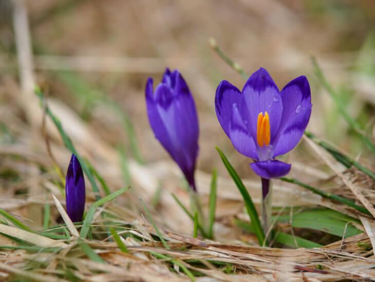 Лат. Crocus sativus