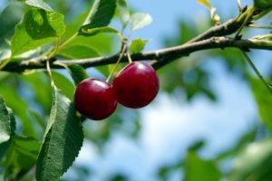 Плоды вишни в летний период