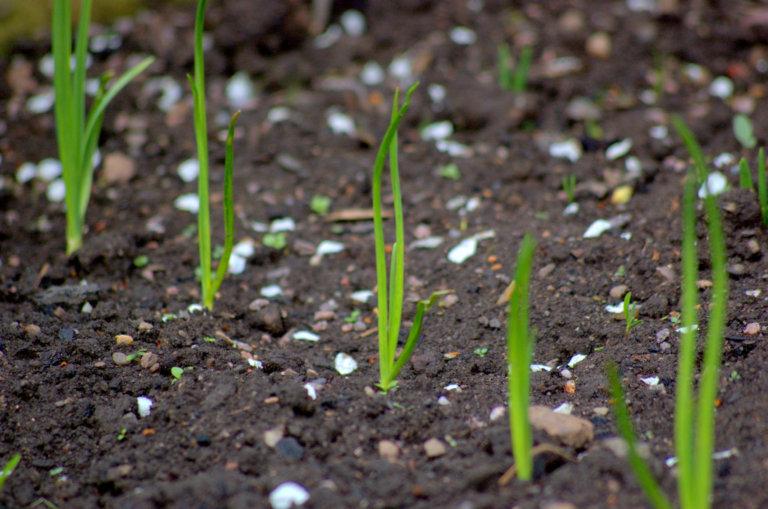 посев лука чернушки на рассаду