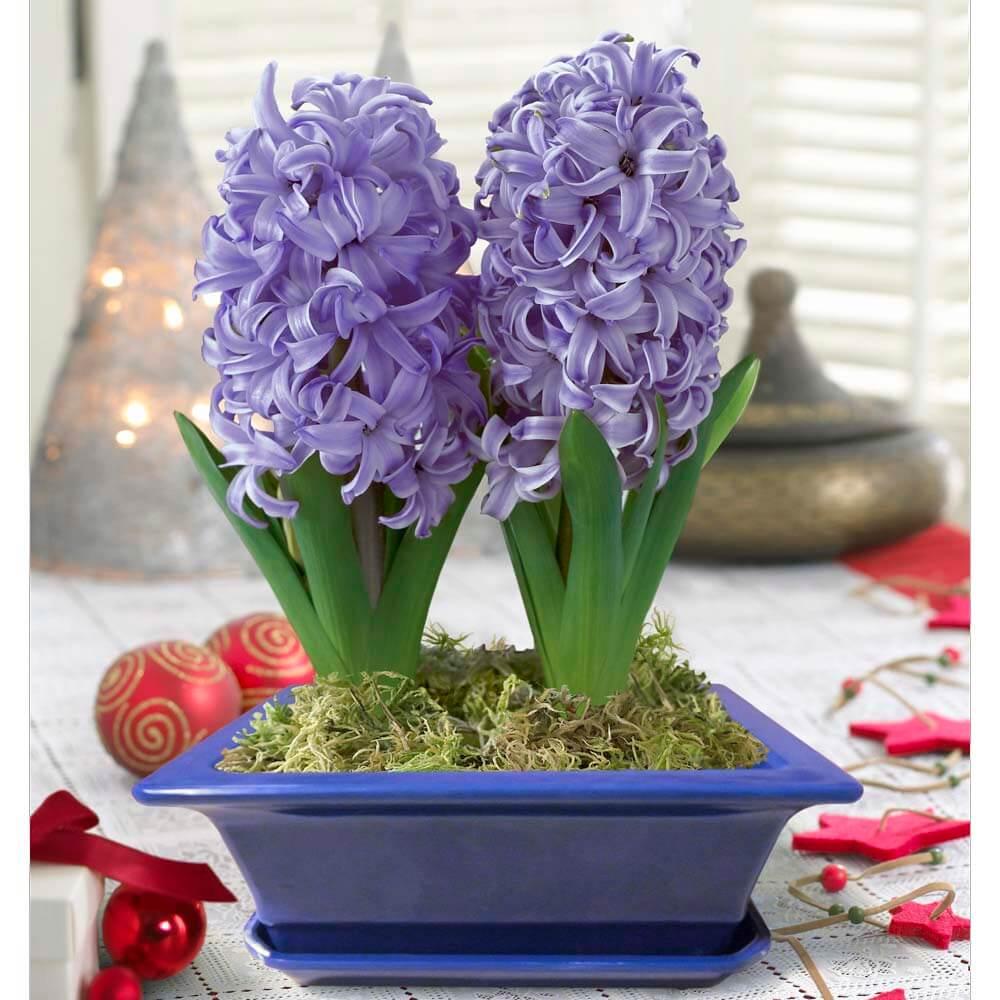 Гиацинтом после цветения в домашних условиях 655