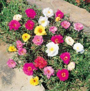 Яркое и пышное цветение портулака