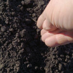 Посадка лука из чернушки: рекомендации для весеннего и подзимнего посева