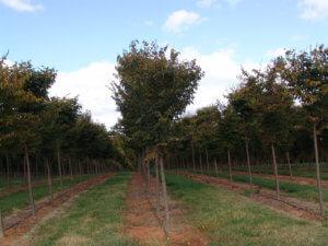 Дзельква: описание растения и характеристика видов
