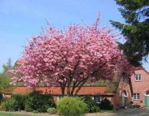 Все о вишне мелкопильчатой: выбор сорта и саженца, основы выращивания