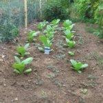 Крылатый табак для декоративного оформления садового участка